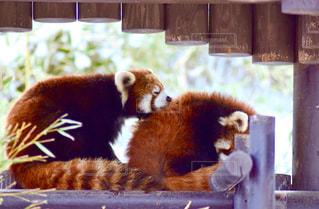 レッサーパンダの居眠りの写真・画像素材[1874669]