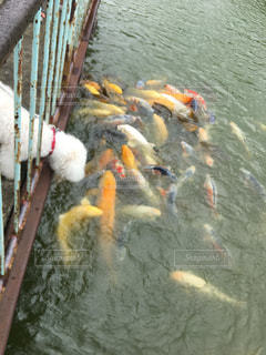 池 錦鯉 犬の写真・画像素材[1875634]