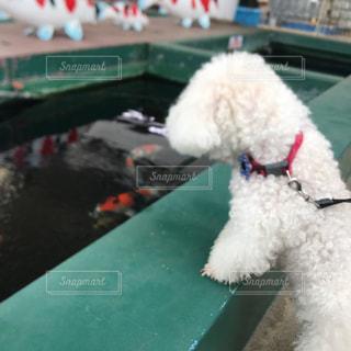 錦鯉 犬の写真・画像素材[1875635]