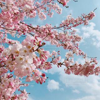 桜の写真・画像素材[1964338]