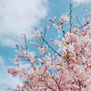 桜の写真・画像素材[1964339]