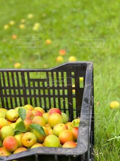 梅の収穫の写真・画像素材[3321687]
