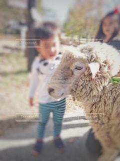 羊を触る子供の写真・画像素材[2013584]