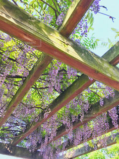 藤の花の写真・画像素材[2081723]