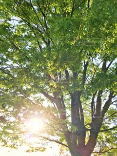 大きな木の写真・画像素材[2081724]