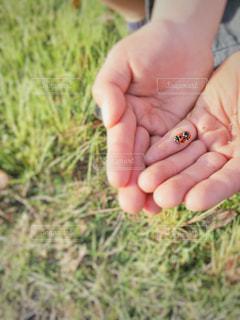 手の中のカップルてんとう虫🐞の写真・画像素材[2081727]