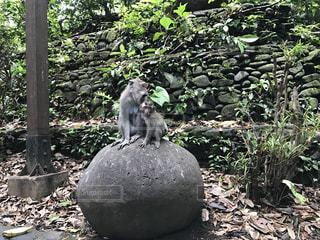 猿の親子の写真・画像素材[2265301]