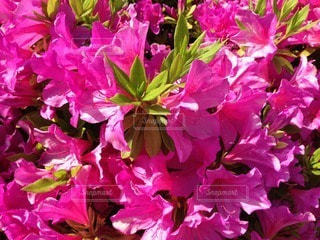 花の写真・画像素材[65005]