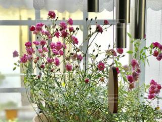 朝日を浴びるミニ薔薇の写真・画像素材[2208727]