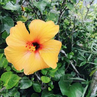 ハイビスカス オレンジの写真・画像素材[1877492]