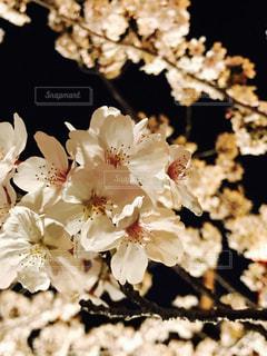 夜桜のライトアップの写真・画像素材[1880440]