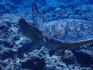 水の中のウミガメの写真・画像素材[2887135]