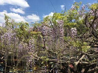 黒木大藤が綺麗に咲いています。の写真・画像素材[2041700]