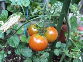 家庭菜園のミニトマトの写真・画像素材[2249342]