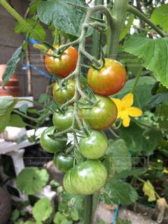 家庭菜園のまだ熟れてないミニトマト。の写真・画像素材[2251409]
