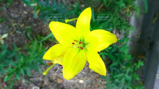 黄色い百合の花。の写真・画像素材[1886331]