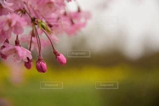 枝垂れ桜の写真・画像素材[1878977]