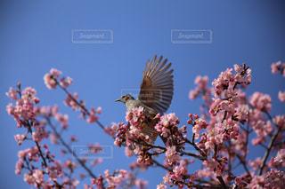 河津桜とヒヨドリの写真・画像素材[1879789]