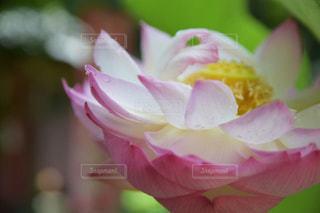 水滴と蓮の花の写真・画像素材[1936023]