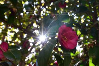 椿と太陽の写真・画像素材[1936488]