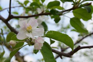 りんごの花の写真・画像素材[2087229]