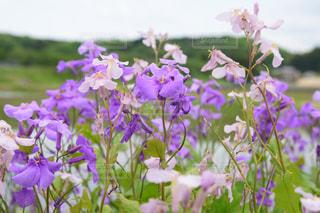 だいこんの花の写真・画像素材[2087347]