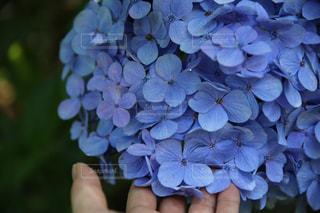 紫陽花の写真・画像素材[2106356]
