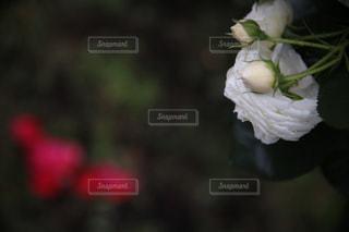白いバラとつぼみの写真・画像素材[2106358]
