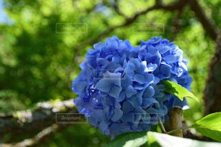 新緑と紫陽花の写真・画像素材[2106499]
