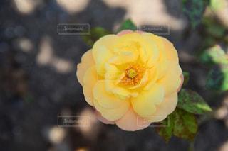 アンネのバラの写真・画像素材[2114376]