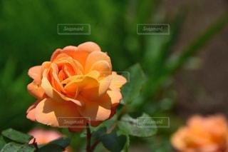 アンネのバラの写真・画像素材[2114377]