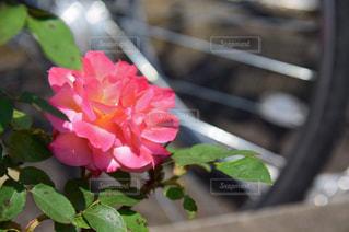 アンネのバラの写真・画像素材[2114388]