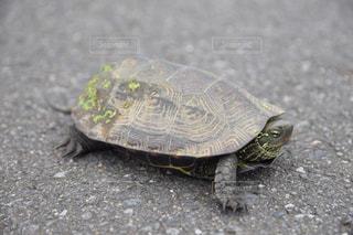 亀の散歩に遭遇の写真・画像素材[2114896]