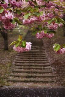 八重桜のトンネルの写真・画像素材[2116752]