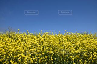 野原の黄色い花の写真・画像素材[2122926]