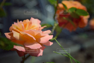 淡いピンクの可愛いバラの写真・画像素材[2128880]