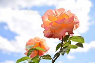 空とアンネのバラの写真・画像素材[2156200]