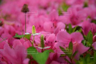 ツツジの中のドクダミの花の写真・画像素材[2184155]