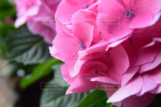 ピンクの紫陽花の写真・画像素材[2214837]