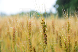 雨の日の麦畑の写真・画像素材[2218292]