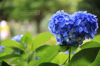 ハートの紫陽花の写真・画像素材[2224616]