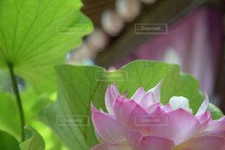 蓮の花の写真・画像素材[2238365]