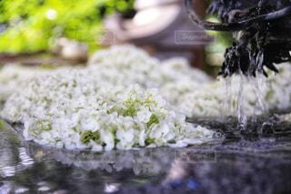 浮かぶ紫陽花の写真・画像素材[2245517]