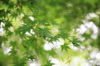 新緑の写真・画像素材[2250370]