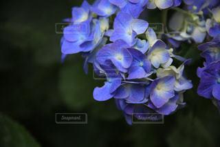 紫陽花の写真・画像素材[2250405]
