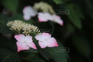 額紫陽花の写真・画像素材[2250411]