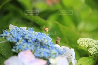 紫陽花とミツバチの写真・画像素材[2256085]