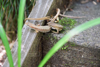 カナヘビの写真・画像素材[2256751]