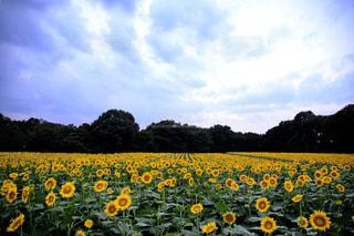 ひまわり畑の写真・画像素材[2385601]