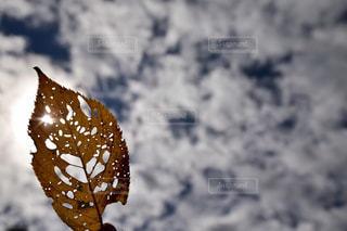 穴あき葉っぱの写真・画像素材[2473993]